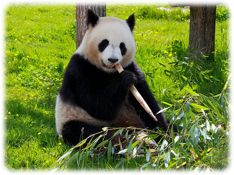 Krafttier Panda