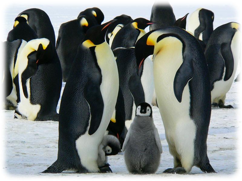 Krafttier Pinguin
