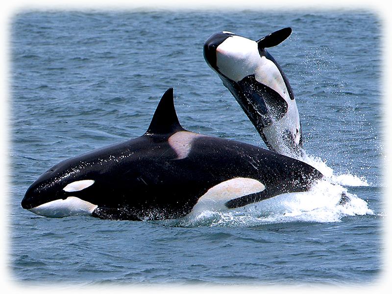 krafttier delfin engel des meeres. Black Bedroom Furniture Sets. Home Design Ideas