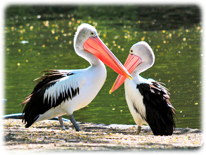 Krafttier Pelikan